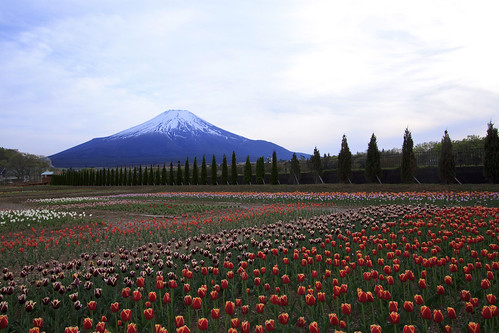 Mt. Fuji and tulip field | by * Yumi *