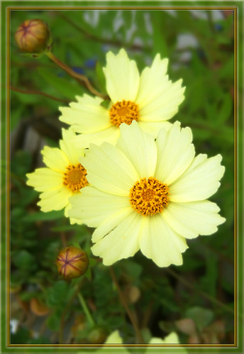 Pale yellow flowers at the garden center in october pale yellow flowers by mysweetiepiepie pale yellow flowers by mysweetiepiepie mightylinksfo