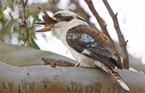Laughing Kookaburra :  Yum !!! | by Clement Tang **busy**