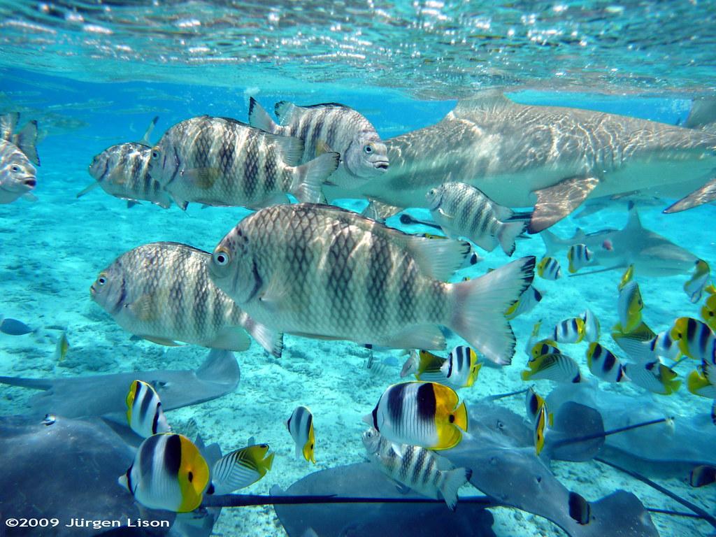 Snorkeling in bora bora a bucket full of fish for Bora bora fish