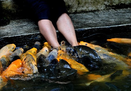 umpan mancing ikan mas di malam hari yang tepat dan ampuh resep