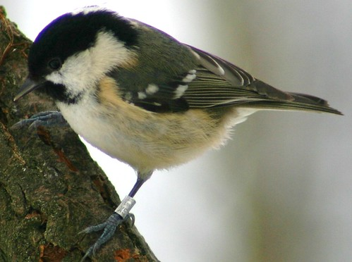 ringed coal tit | by M1ke Price