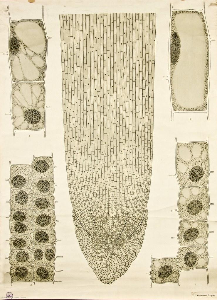 Cell growth -- Anatomia Vegetal 1929, pub. by FE Wachsmuth… | Flickr