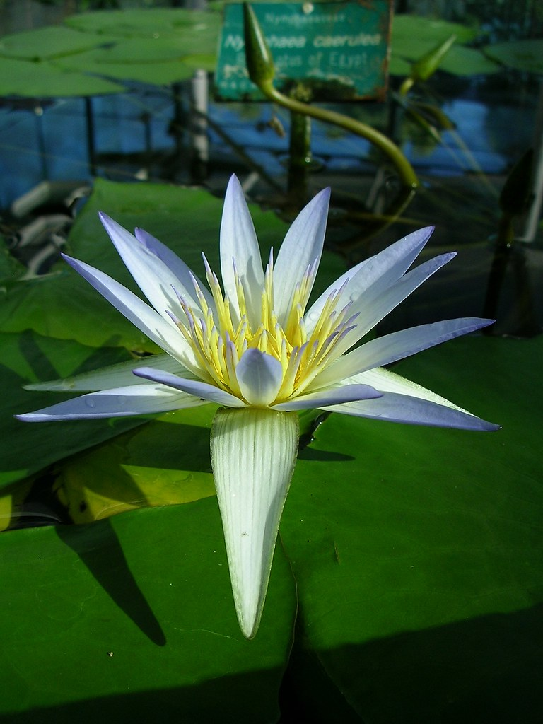 Egyptian Blue Lotus While Strolling Through The Adelaide B Flickr