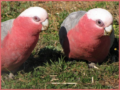 Female And Male Galahs The Female Galah Is The One With