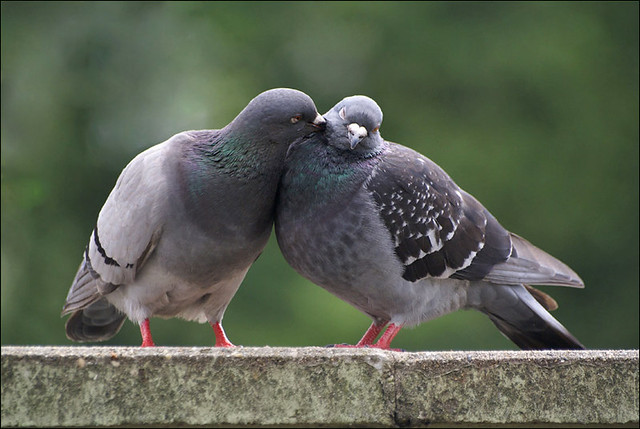 love is in the air a couple of doves is a classic world