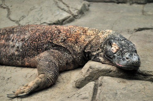 Komodo Dragon taking a nap | by Gregory Moine