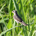 Double-collared Seedeater (Sporophila caerulescens)