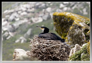 Cormorant  Nesting On Saltee Island  Co Wexford | by thesalisburyhome