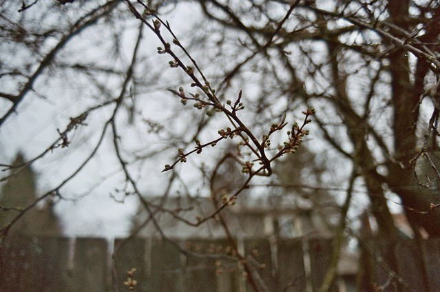 february alley walk: barely budding tree branches