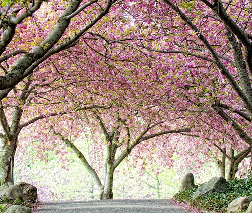 Cherry Walk | by Brooklyn Botanic Garden