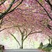 Cherry Walk