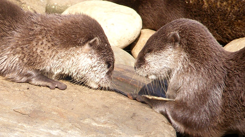 Otters playing | by monkeywing