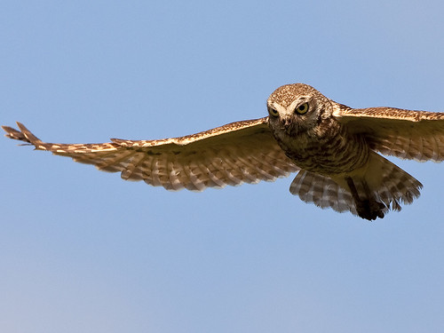 Burrowing Owl Inflight | by Random Images from The Heartland