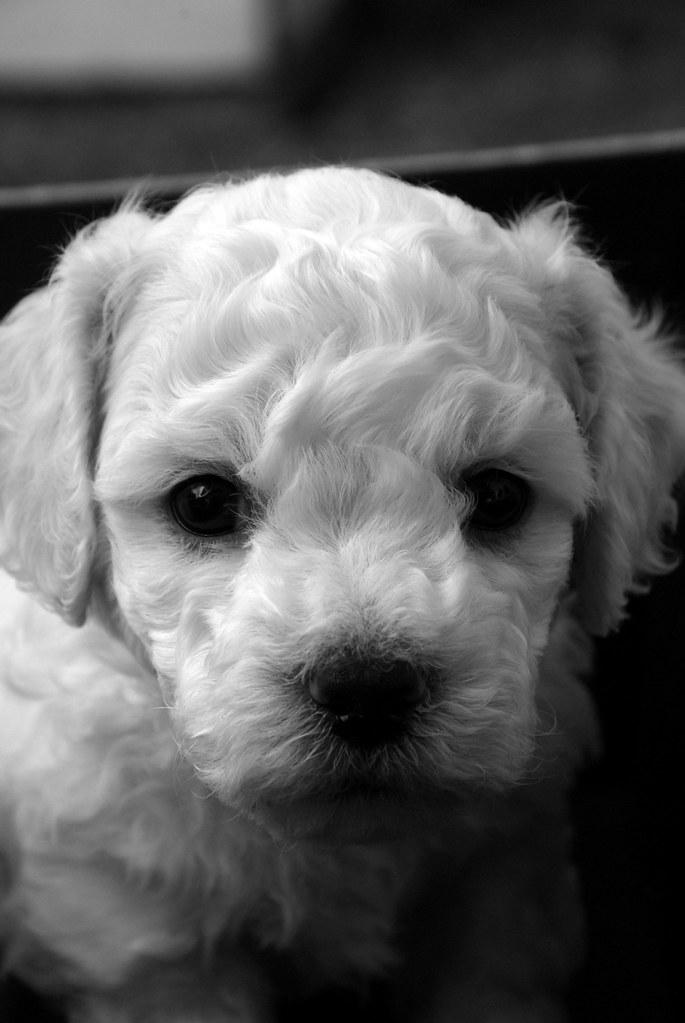 christmas 2009 at alcala pet care bichon puppies jim