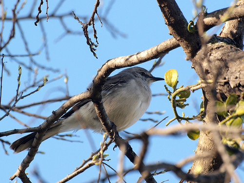 Mockingbird | by PeeWee57