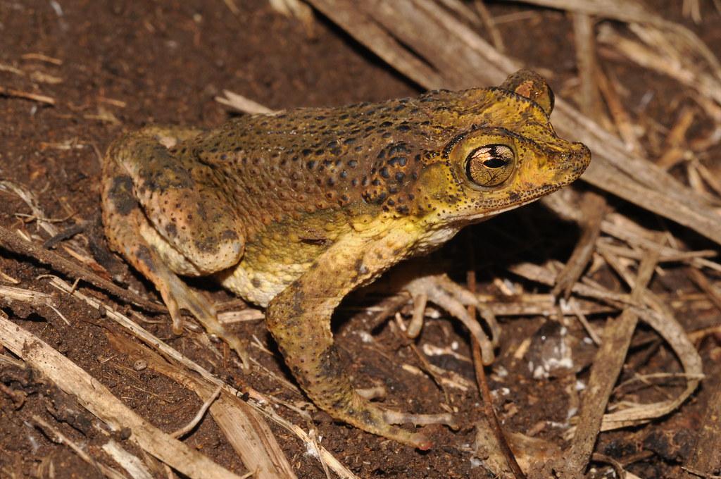 Name Puertorriqueno: Puerto Rican Crested Toad, Male / Sapo Concho Puertorrique