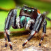 Adult Male Phidippus clarus Jumping Spider (With Video!)
