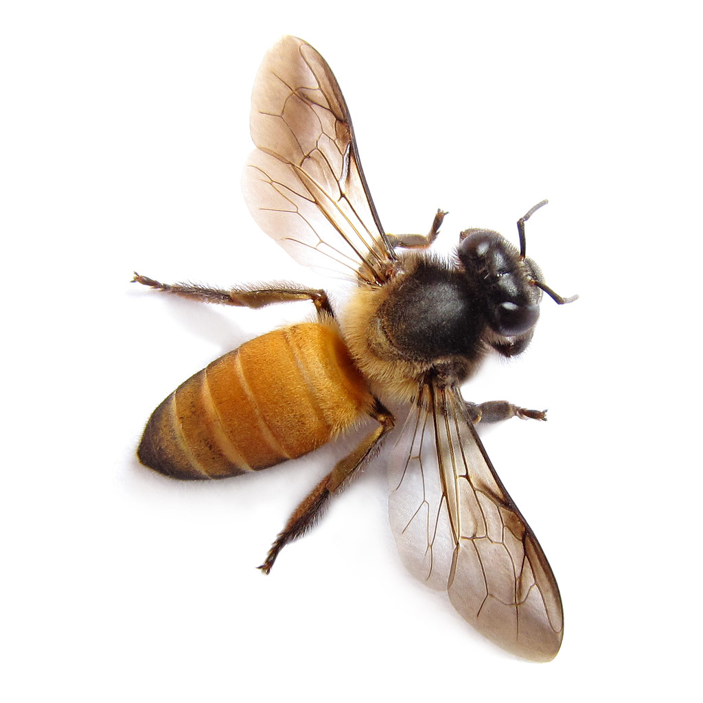 what do drone bees with 4312985916 on Pesticides Bees  plex besides Varroa Treatment also Little Horn Facaed Bees Mating additionally File Capped emergency supercedure queen cells of the honey bee in addition Funny1.