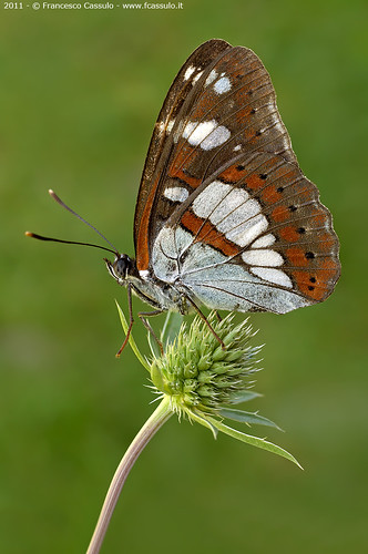 Limenitis reducta (Staudinger 1901) | by Francesco Cassulo