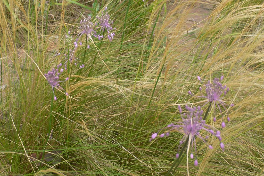 Plant images courtesy piet anja oudolf flickr for Piet oudolf plant list