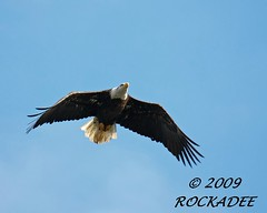 Fly Like An Eagle | by ROCKADEE_Two With Eagles 1951 / Rockey & Dee