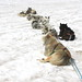 Greenland Huskies!
