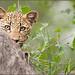Cub in Cover