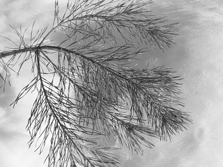 Monochrome Snow Study, Pine Bough | by Ame Inu (Done For A Bit, Back Soon)