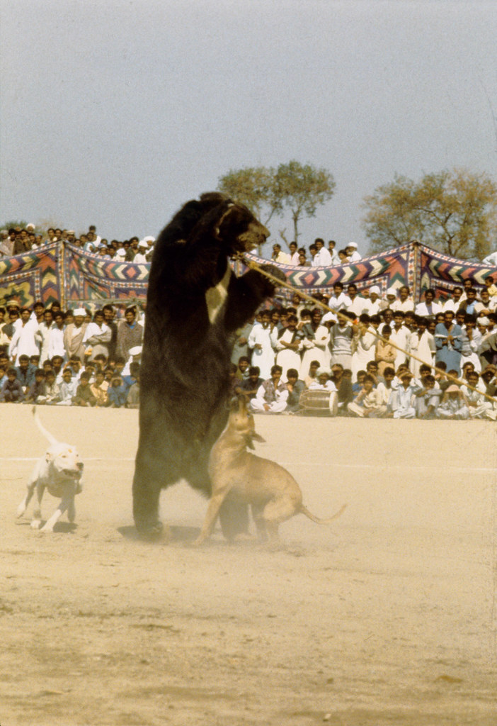 A terrified bear being attacked by dogs in Punjab, Pakista ...