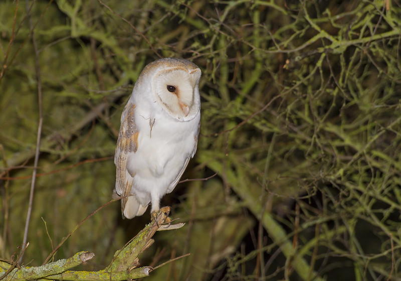 Barn Owl, Old Warden, 18th February 2017