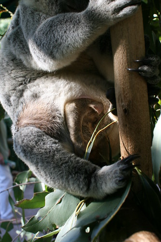 Koala + Joey in pouch | Big would be best. The pouch on ...