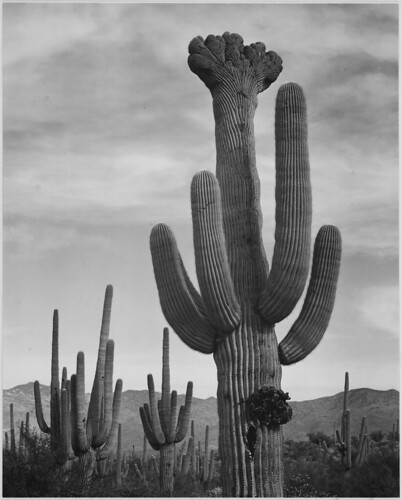 "Full view of cactus with others surrounding, ""Saguaros, Saguaro National Monument,"" Arizona. (Vertical Orientation) 