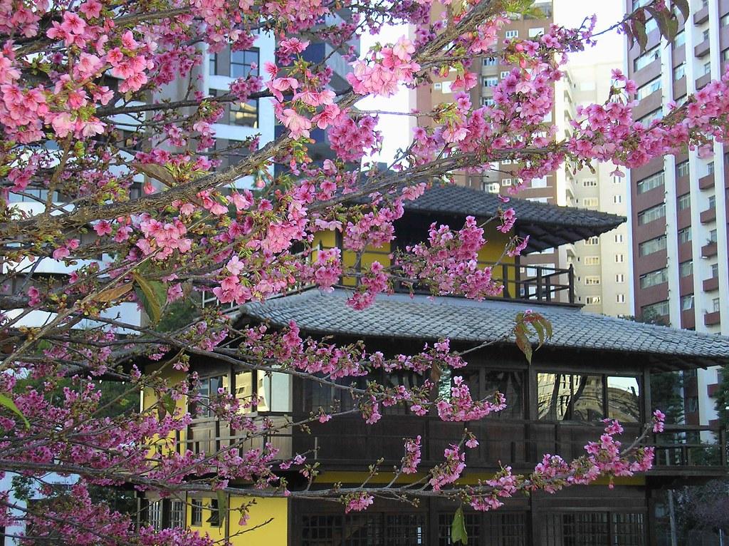 Cherry Blossom Sakura In The Japanese Garden Of Curitiba