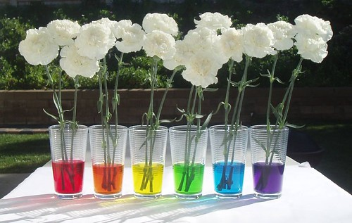 Carnations, ready for rainbow treatment! | This photo is ...