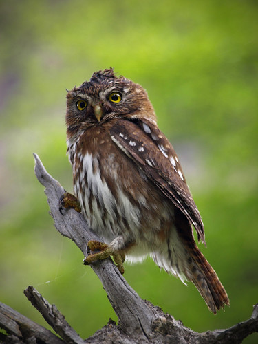 pygmee owl - chouette pygmee - mt fitz roy argentina | by dataichi