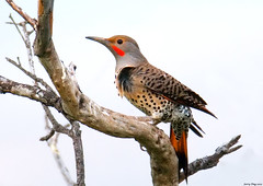 Northern Flicker | by Jerry Ting