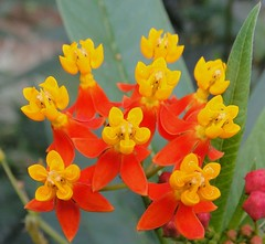 Madame Gillain Boivin in Yellow and Orange. Asclepias curassavica, Lembang, Java, Indonesia | by Rana Pipiens
