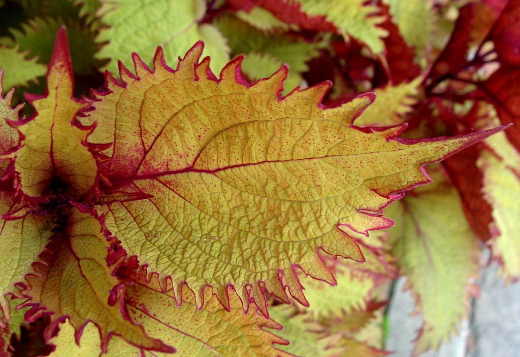 Coleus Leaves September Downtown Brevard Nc As The