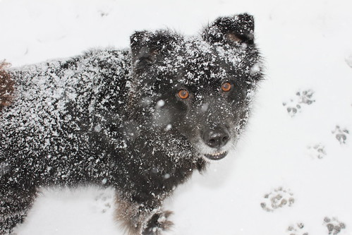 Tucker in the snow | by Juliet M