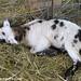 Random Lamb Cute 6