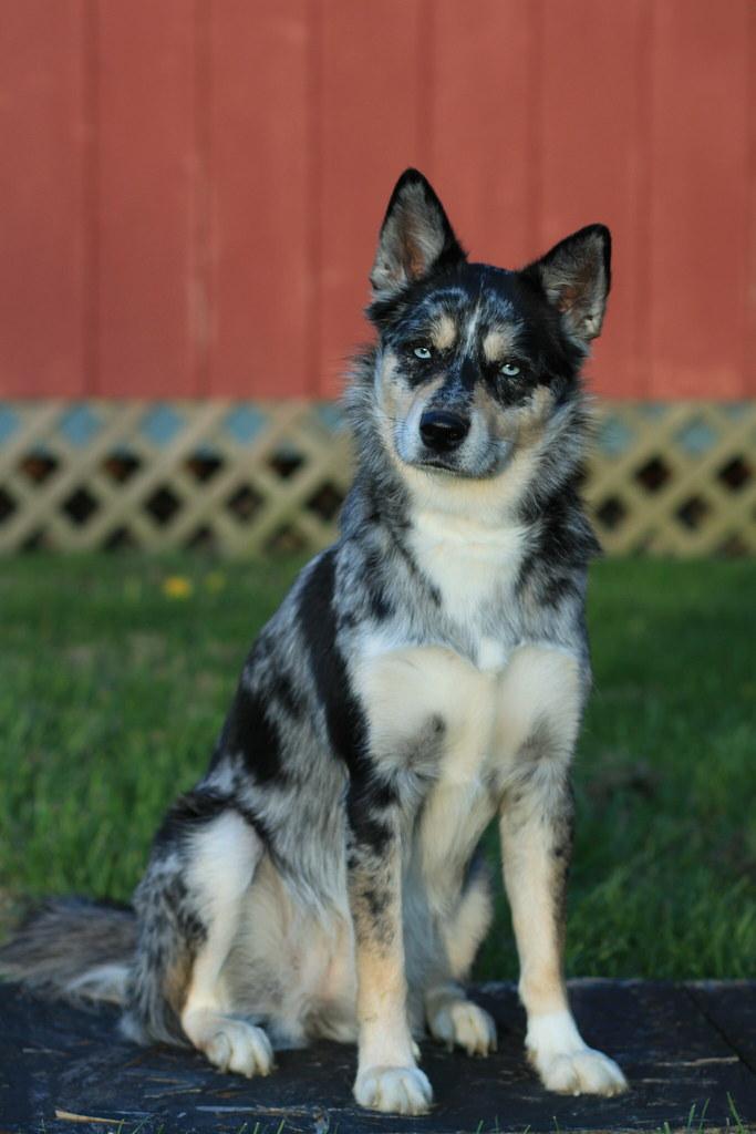 Our new Puppy! Siberian Husky/Blue Heeler mix. | Cuteness ...  |Blue Heeler Shepherd Husky Mix