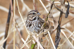 Song Sparrow | by Dave W.