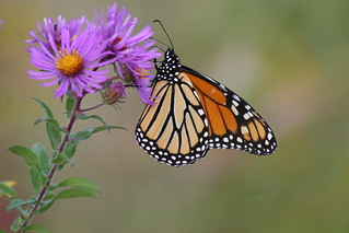 Monarch Butterfly on New England Aster | by U. S. Fish and Wildlife Service - Northeast Region