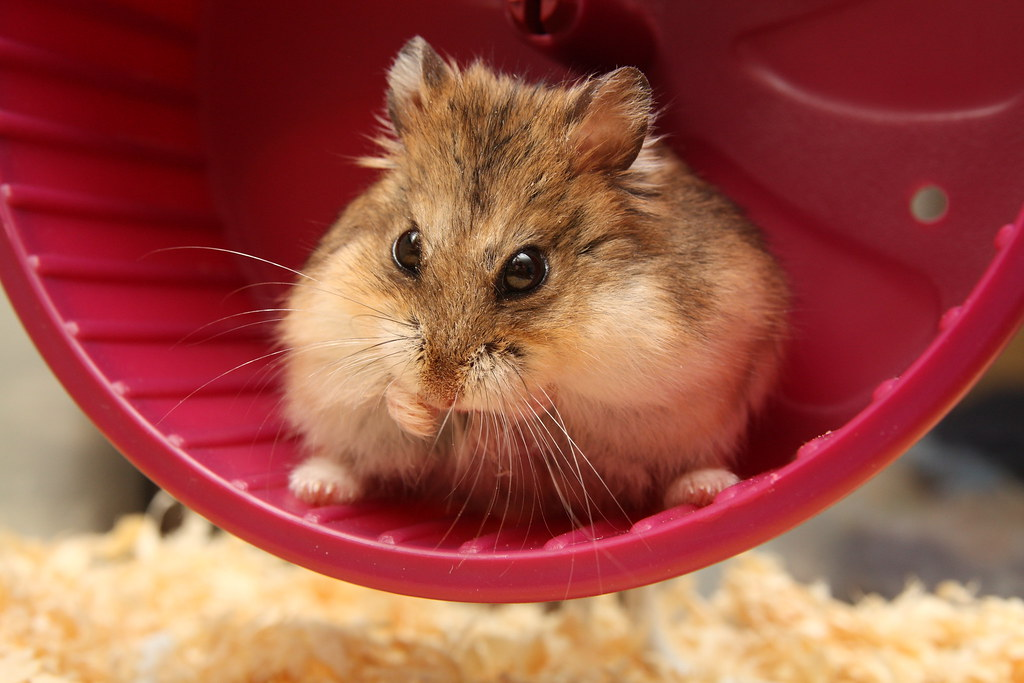 Hamster in a wheel | If you view this full size you can