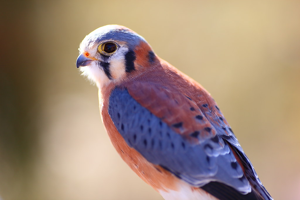 Image result for American kestrel Falcon