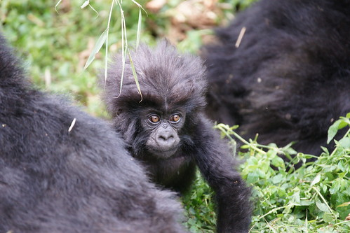 Baby Mountain Gorilla | by Duplisea