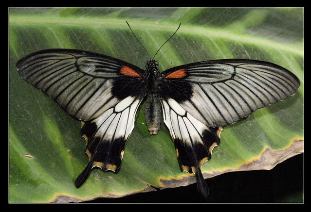 Great Yellow Mormon Swallowtail Butterfly At Wisley Papil