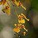 Kandyan dancer flowers _.jpg
