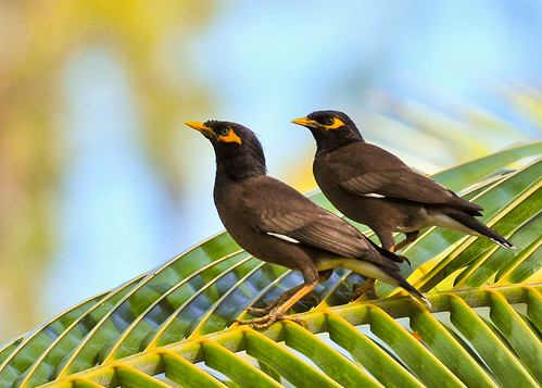 how to get rid of mynah birds
